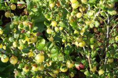 How do you make Gooseberry Jam | Find a recipe for Gooseberry Jam