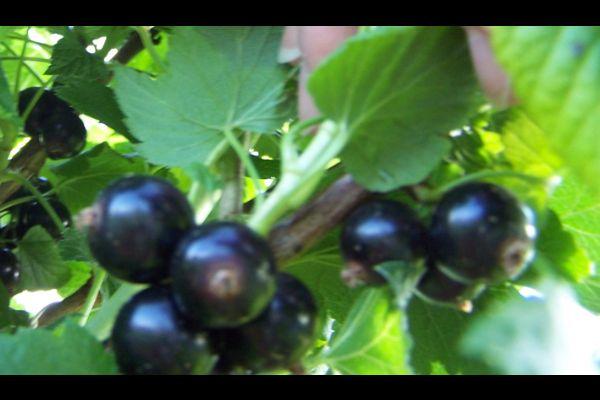 How do you make Blackcurrant Jam | Find a recipe for Blackcurrant Jam