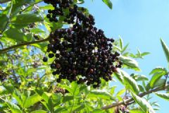 How do you make Spiced Elderberry Jelly | Find a recipe for Spiced Elderberry Jelly